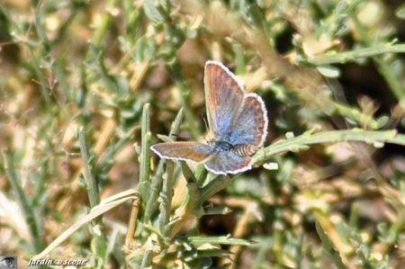 Azuré du genêt - Plebejus idas