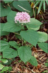 clerodendron2