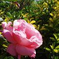 RosesParc17