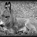 Lenteur et plaisirs de la promenade, la liberté de l'âne...extrait