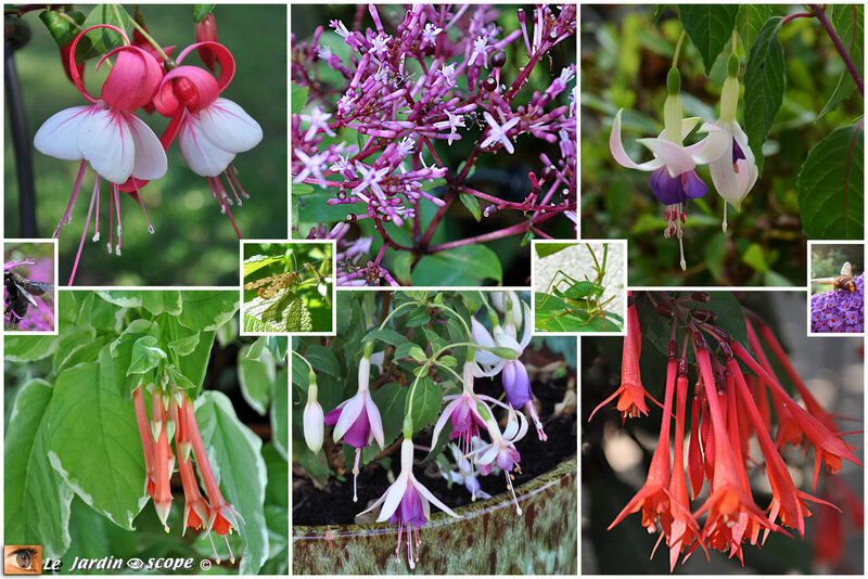 Fuchsias-collection