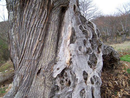 Las Medulas-châtaignier