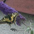 Le Machaon • Papilio machaon • Papilionidae