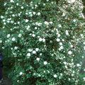 Un superbe rosier aux fleurs blanches grimpe dans un arbre