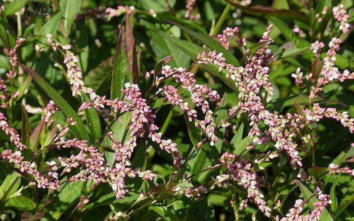 fleurs en épis oblongs