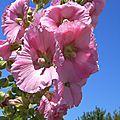 Rose trémière 2