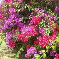 BOUGAINVILLEE