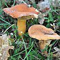Lactarius volemus (1)