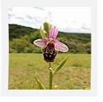 L'ophrys du gers en 2014...