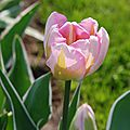 Tulipa 'new design'