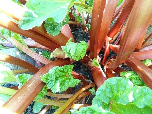 rhubarb-54084_1280