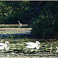 Lac Cygnes et Héron 011015