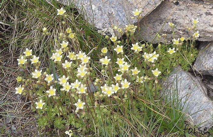 fleurs d'un blanc jaunâtre en panicule (de 3 à 10)