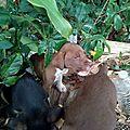 Claudy 2 - Chienne et ses 6 chiots largués dans la forêt tropicale sur les flancs de la soufrière 3