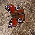 Surprenante visite en ce jour de février neigeux : un beau papillon