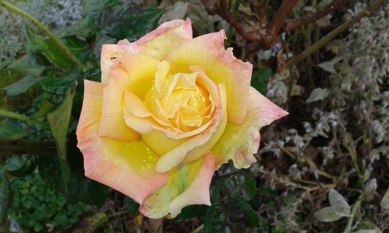 20171022_rose1