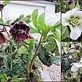 07 roses de Noël