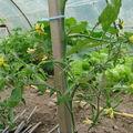 2008 06 09 Les fleur d'une tomate coeur de Boeuf
