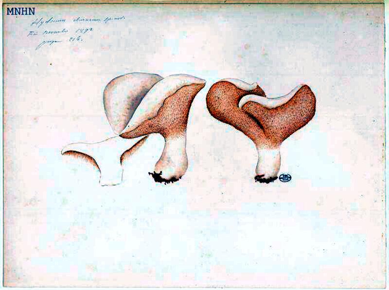 p 103 Hydnum eburneum sp nov Fin novembre 1892