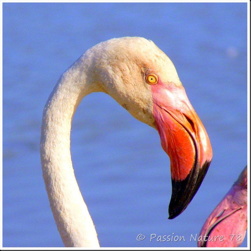 Le flamant rose de Camargue