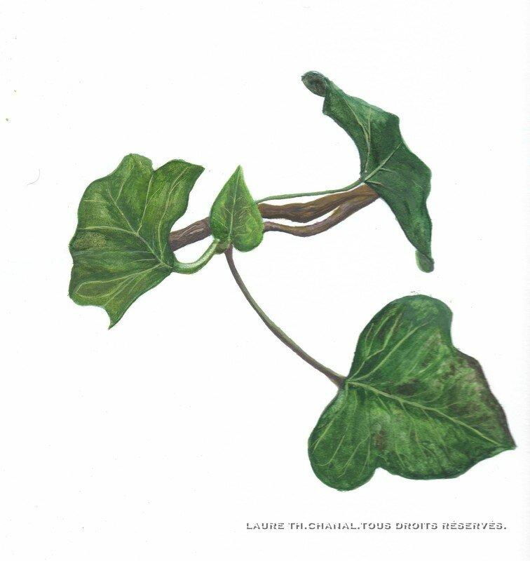 feuilles de lierre