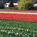 1-Tulipes 170317