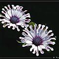 osteospermum-jardin-2000-11e-cpf-1377
