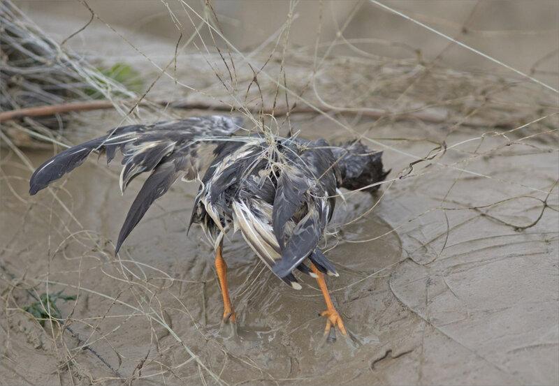 Baie Aiguillon 300 241020 8 filet oiseau ym