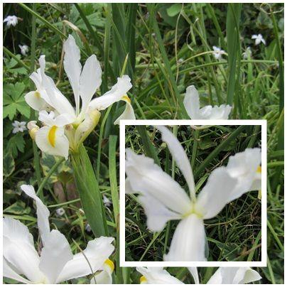 iris_blancs