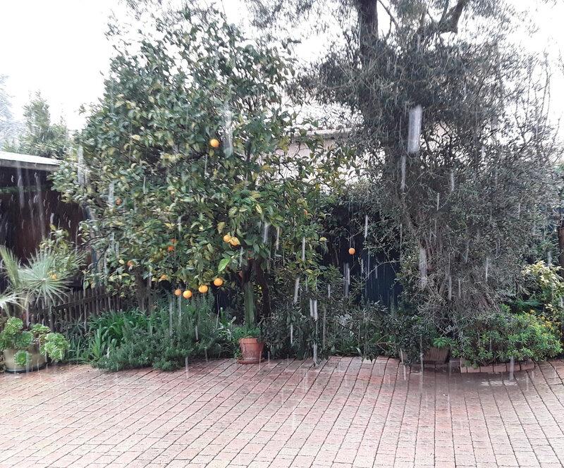 Neige sur l'oranger