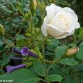 8890-Iochroma et Rose-blanche