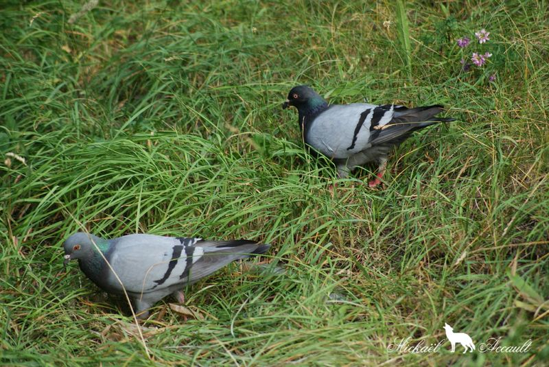 Pigeons genuine-homer 5