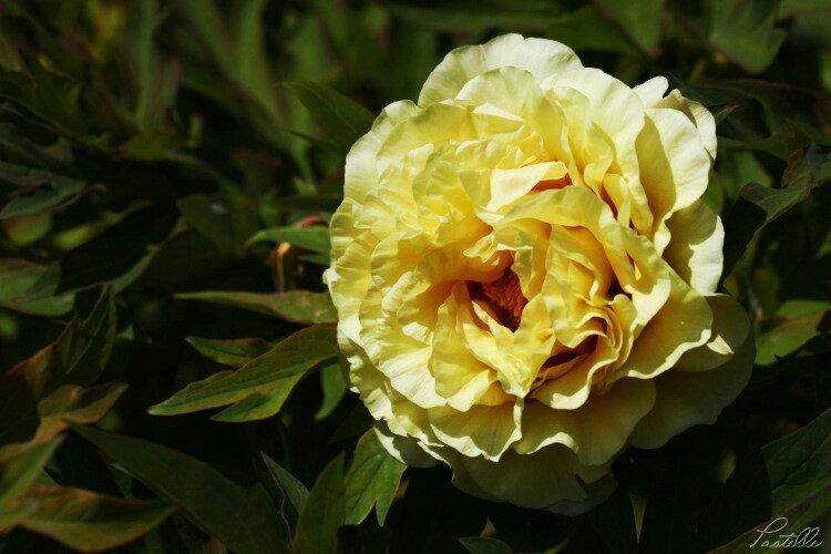 Pivoine jaune_13 14 05_2709