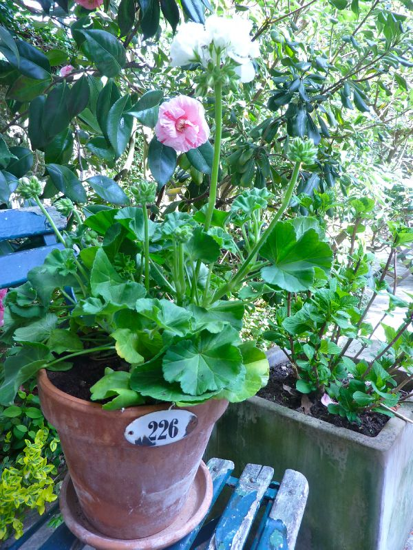 Geranium en pot