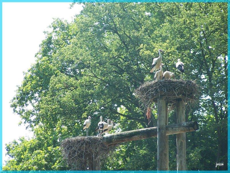cigognes au parc de l'orangerie12