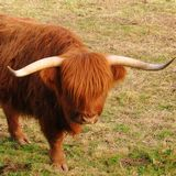 Les vaches de race Highland