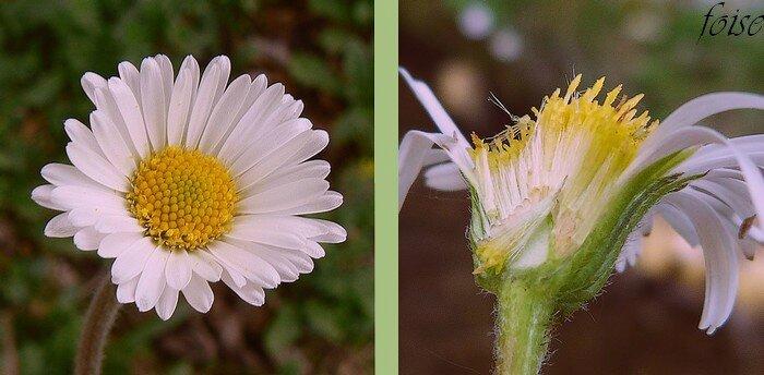 très nombreuses ligules fleurs centrales tubuleuses jaune réceptacle conique plein