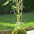 Bambou fargesia jumbo