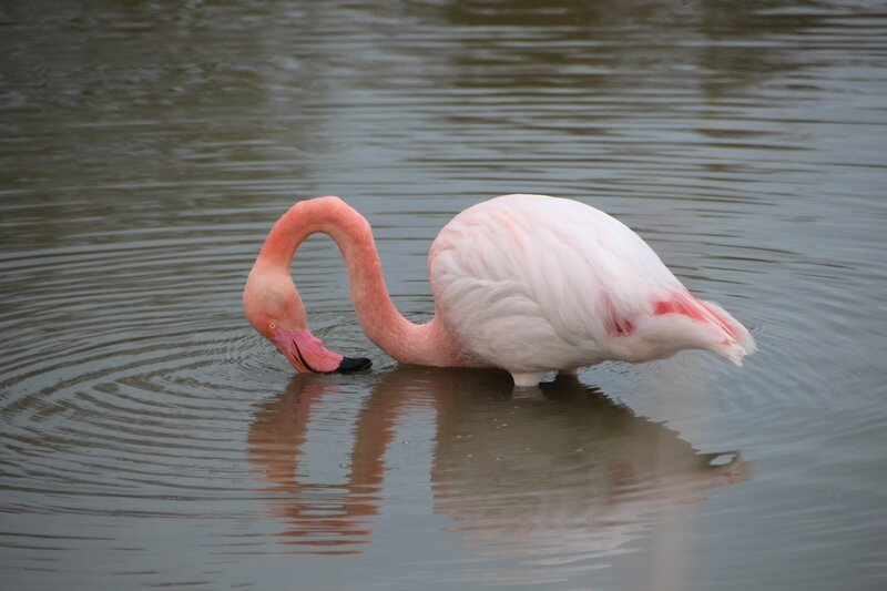 camargue_flamant_rose