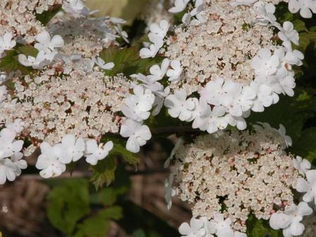 Viburnum_opulus_Sylvie_fleurs_blanches_Medium_