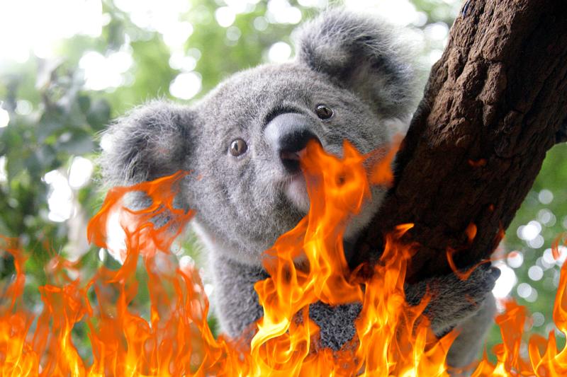 koala prisonnier des flammes - Comp