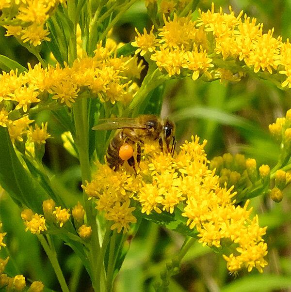 Recherche de pollen sur verge d'or