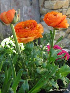 Jardini_re_Montana_printemps_2011_3