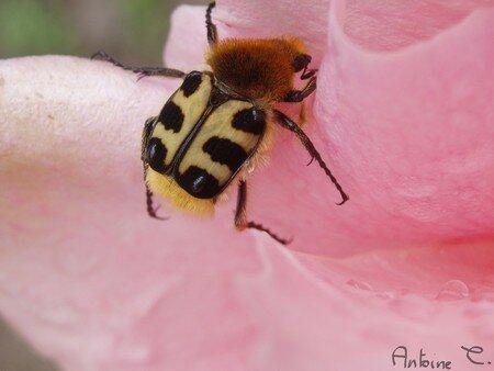 insecte_poilu_signe