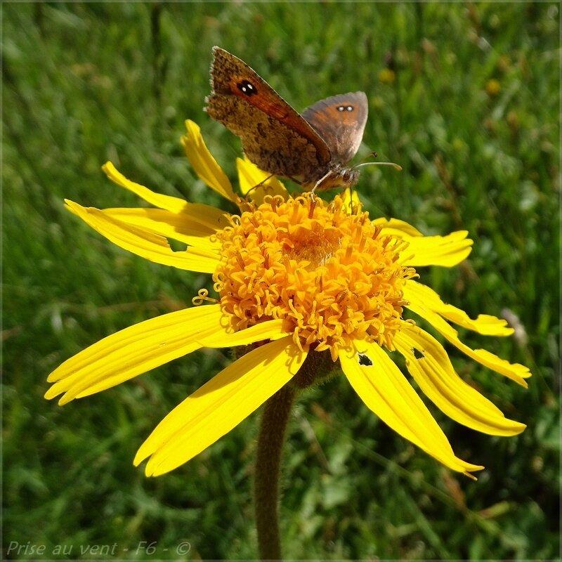Arnica - papillon - 2