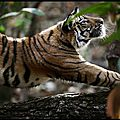 tigre 02