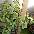 451- mon plectranthus
