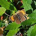 Un papillon de jour qui se fait très discret et rare...