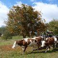 2009 10 16 Les vaches qui parent manger en cette journée d'automne
