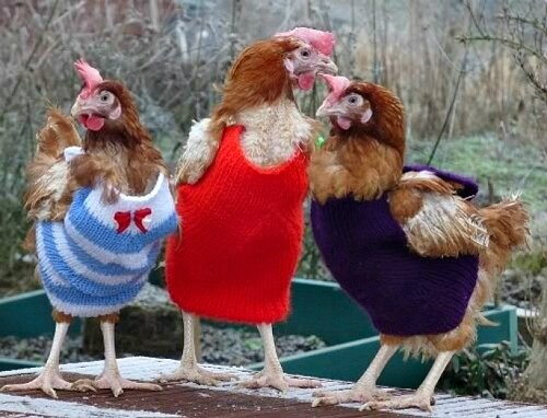 chicken-sweaters-